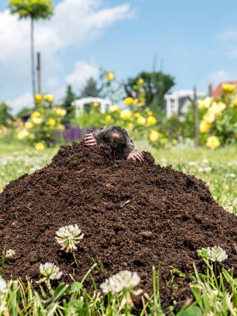 dwelling mound: Mole poking out of mole mound Stock Photo