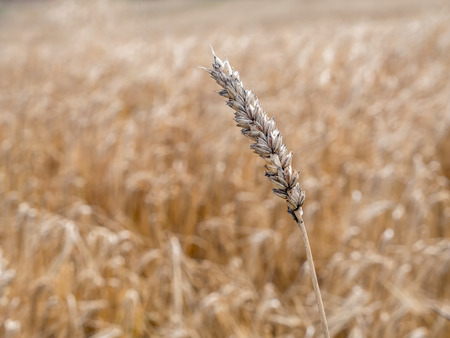 ripened: Ripened ear wheat over wheatfield