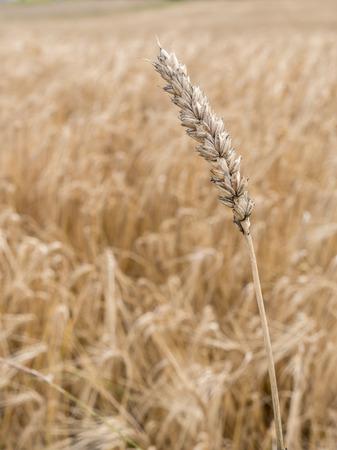 wheatfield: Ripened ear wheat over wheatfield