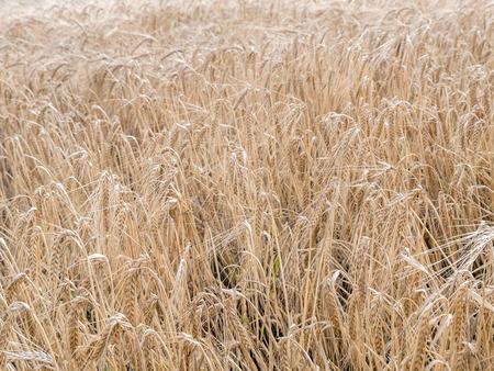 ripened: Field of ripened wheat