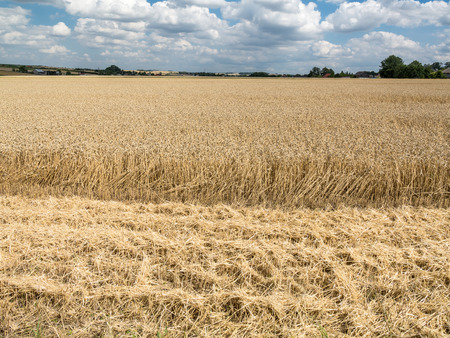 harvested: Partially harvested field of rye