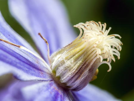 clematis flower: Closeup shot of violet clematis flower