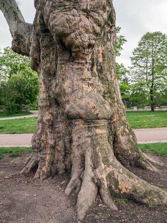 sicomoro: Giganti tronco d'albero di sicomoro che cresce nel parco Archivio Fotografico