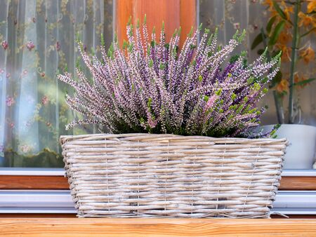 blooming  purple: Wicker basket with lilac heather on windowsill Stock Photo