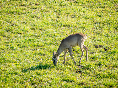 roe: European Roe Deer browsing on the glade Stock Photo