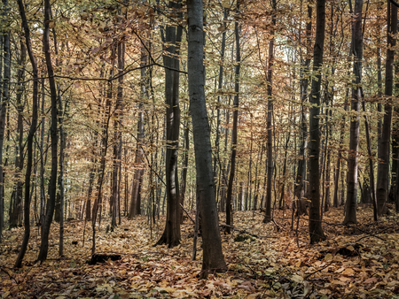 dode bladeren: Forest in autumn with ground covered by dead leaves