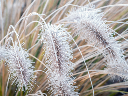 frost covered: Aristae of Pennisetum alopecuroides grass covered with morning frost