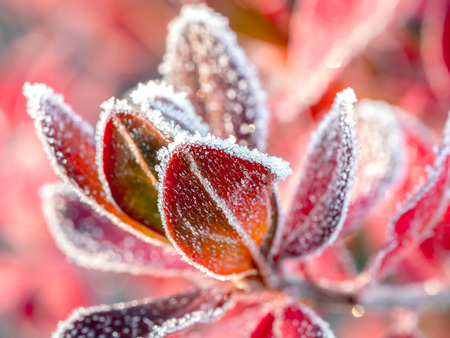 Closeup of barberry leaves covered with morning frost