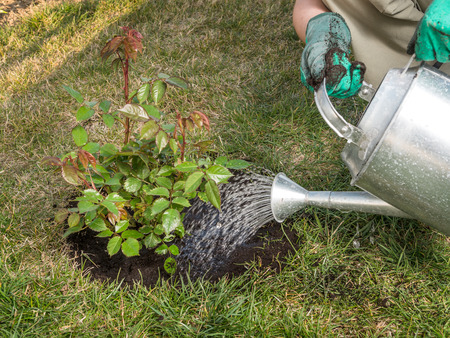 Female gardener watering rose shrub after planting it in in her backyard garden Standard-Bild