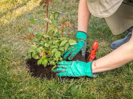 dug: Female gardener planting rose shrub in the dug hole in her backyard garden