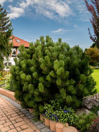 mugo: Beautiful golden pine growing in the House garden Stock Photo