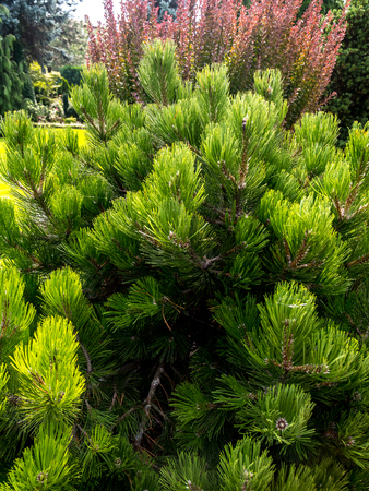 mugo: Beautiful golden pine growing in the House garden Stock Photo