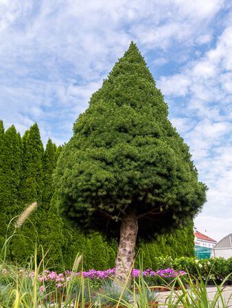 picea: Giant white spruce Picea glauca Conica growing in House garden Stock Photo