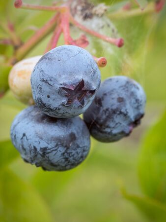 ripening: Closeup of American blueberries ripening on bush Stock Photo