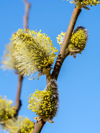 catkins: Closeup of willow branch with catkins over blue sky