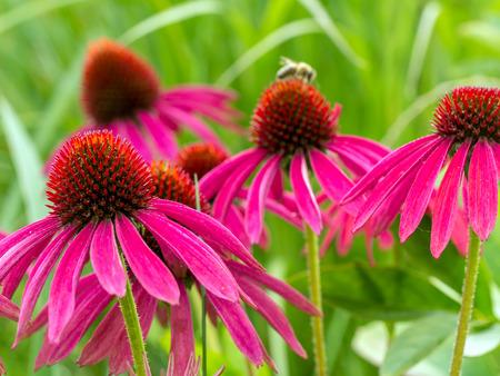 echinacea: Bunch of purple echinacea flowers