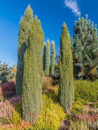 columnar: Columnar junipers growing among the morrfield Stock Photo