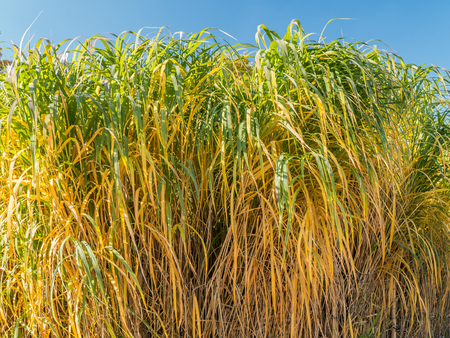 clump: Clump of giant Miscanthus grass Stock Photo