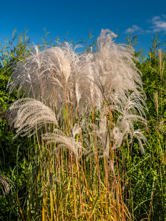 Clump of giant Miscanthus grass against blue sky