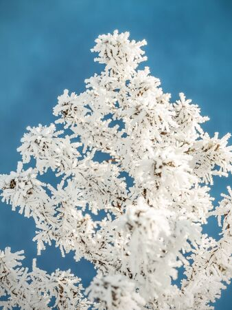 frosted: Frosted plant against blue sky