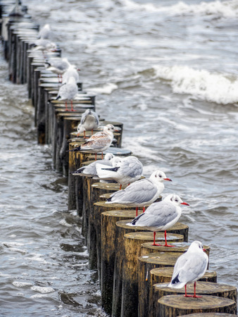 Many seagulls resting on wooden water breakers Stock Photo