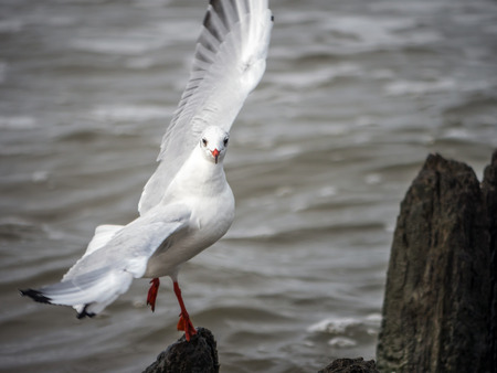 Seagull trying to catch balance on groin with funny pose