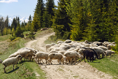 Herd of sheep crossing tourist trail in the mountains