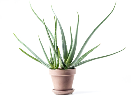 Aloe vera plant in ceramic pot over white background