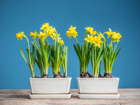 Fresh potted yellow daffodils on wooden table over blue background Stock Photo