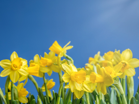 Bunch of fresh yellow garden daffodils over blue sky