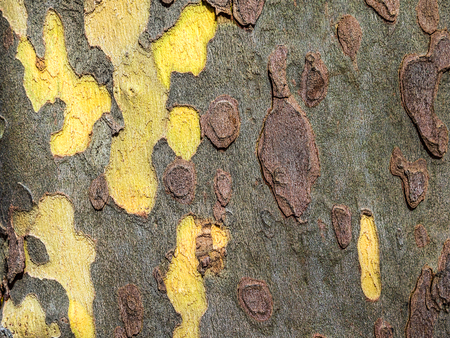 Closeup of sycamore tree trunk bark