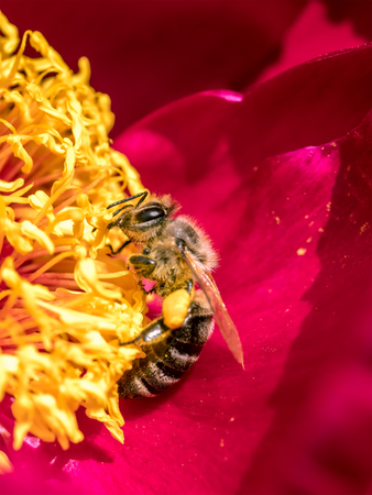 Closeup of wild bee pollinating peony flower
