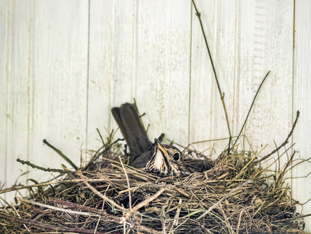 Closeup of robin brooding in the nest
