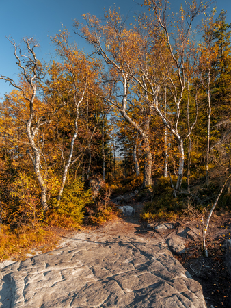 Bunch of birch trees in fall colors growing on the Kloof Corner in the Table Mountain National Park, Poland Stock Photo