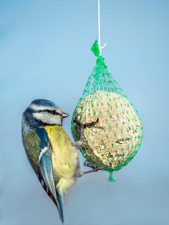 Cincia che mangia semi dalla palla grassa attaccata allo spago sopra il cielo blu blue