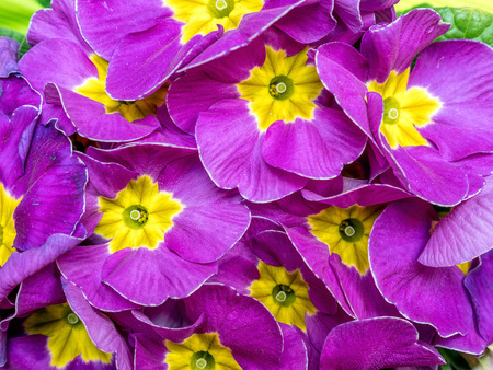 Bunch of violet primrose flowers shot from above