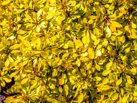 Closeup of yellow Golden Carpet shrub also known as Berberys Thunberba  Stock Photo