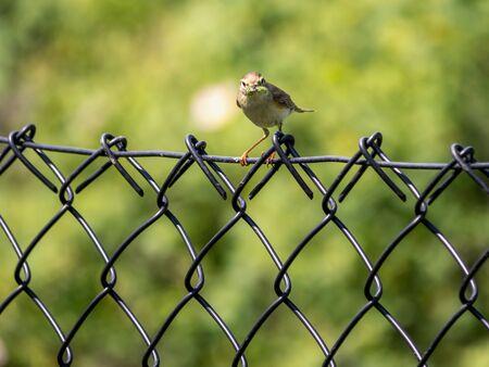 Gelbhammer sitzt auf Zaun mit Wurm im Schnabel Standard-Bild