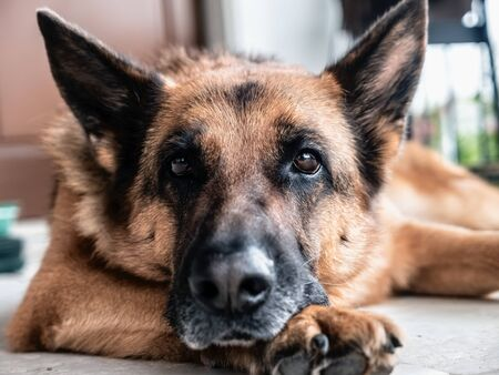 German shepherd posing lying down on the floor Reklamní fotografie