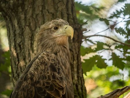 White-tailed sea eagle perched on a tree tranch in the aviary located in the Wolin National Park, Poland