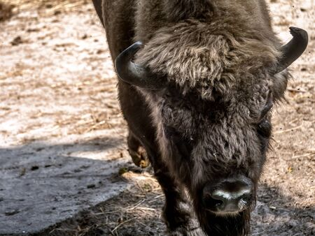 Show farm for European Bison viewing in the Wolin National Park, Poland Reklamní fotografie