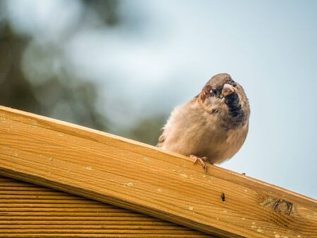 Adorable house sparrow sitting on wooden pergola looking into camera Reklamní fotografie