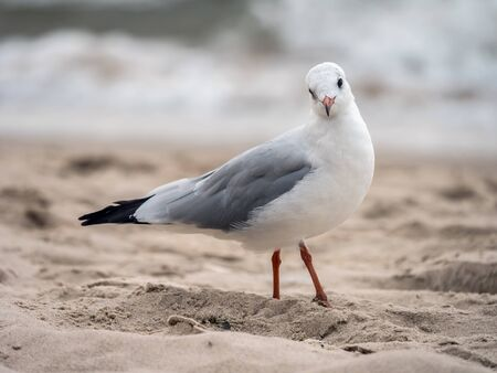 European herring gull on the beach sand against the sea