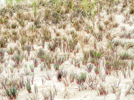 Clumps of dune grass called ammophila arenaria, growing on moving dune Wydma Czolpinska Dune in the Slowinski National Park between Rowy and Leba, by the Baltic Sea, Poland