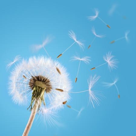 blowing dandelion: Dente di leone con semi Overblown volare via con il vento Archivio Fotografico