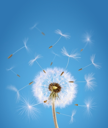 fertility: Overblown dandelion with seeds flying away with the wind