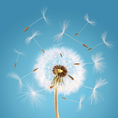 Overblown dandelion with seeds flying away with the wind photo