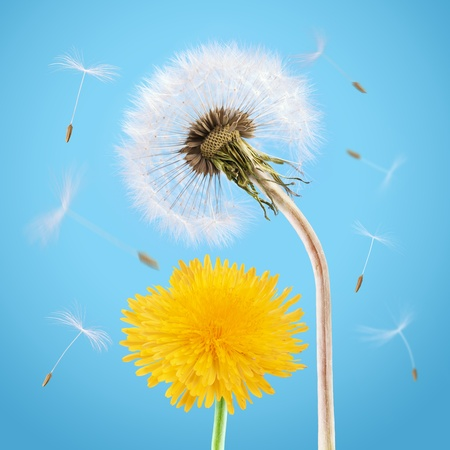 Yellow and overblown dandelion on the blue sky photo