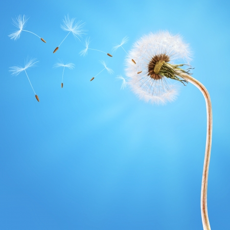Dandelion on the long stem and on the blue sky  Seeds flying away with the wind Stock Photo
