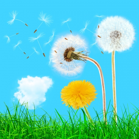 Overblown and yellow dandelions in the grass on the blue sky photo